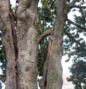 Rhodes Hall Magnolia tree damage